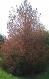 Example of Imprelis Tree Damage